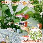(熱帯魚 水草)外国産ミックスグッピー(5ペア)+スプライト1種(3株セット)