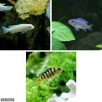 (熱帯魚)ムブナ3種ミックス Aセット(9匹)(各種3匹) 北海道・九州・沖縄航空便要保温