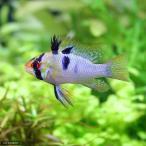 (熱帯魚)ブリリアント・ラミレジィ(国産ブリード)(1ペア)