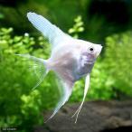 (熱帯魚)プラチナホワイト・エンゼルフィッシュ(国産ブリード)(3匹)  北海道・九州・沖縄航空便要保温
