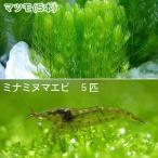 (エビ 水草)ミナミヌマエビ(5匹) + マツモ 5本