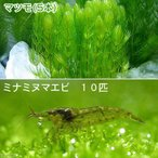 (エビ 水草)ミナミヌマエビ(10匹) + マツモ 5本