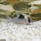 (熱帯魚)コリドラス・バーゲシー(ワイルド)(1匹
