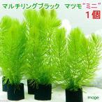 (水草)メダカ・金魚藻 マルチリングブラック(黒) マツモ ミニ(無農薬)(1個) 北海道航空便要保温