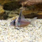 (熱帯魚)コリドラス・レセックス(ワイルド)(1匹