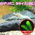 (ザリガニ 水草)白ザリガニ Sサイズ(約2〜5cm)(3匹) +エサ用アナカリス 6本 おまけ付 北海道航空便要保温
