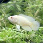 (熱帯魚)アルビノレモンタイガーオスカー(1匹) 北海道・九州・沖縄航空便要保温