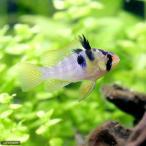 (熱帯魚)オランダ・ラミレジィ(国産ブリード)(1匹)