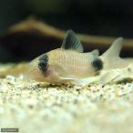 (熱帯魚)コリドラス・パンダ(6匹) 北海道・九州