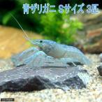 (ザリガニ)青ザリガニ Sサイズ(約2〜5cm)(3匹) 北海道航空便要保温