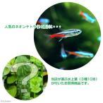 (熱帯魚 水草)ネオンテトラ(10匹) +おまかせ水上葉3種セット 計10本  北海道・九州・沖縄航空便要保温