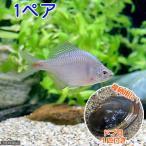 (淡水魚)タイリクバラタナゴ(1ペア)+ドブ貝(1匹) 北海道航空便要保温