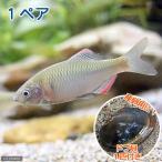 (淡水魚)ヤリタナゴ(1ペア)+ドブ貝(1匹)