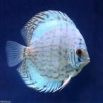 (熱帯魚)ジャーマンコバルト・ディスカス(Mサイズ)(1匹) 北海道・九州・沖縄航空便要保温