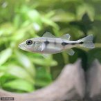 (熱帯魚)キクラ・オリノセンシス(オリノコエンシス)Sサイズ(ワイルド)(1匹)