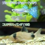 (熱帯魚)ブルーグラスグッピー(国産グッピー)(1