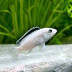 (熱帯魚)ラビドクロミス・カエルレウス ホワイト(1匹) 北海道・九州・沖縄航空便要保温