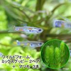 (熱帯魚 水草)ワイルドフォーム・ミックスグッピー(2ペア)+マツモ(3本) 北海道・九州航空便要保温