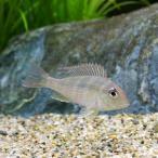 (熱帯魚)ゲオファーガスsp.レッドヘッドタパジョス Sサイズ(3匹) 北海道・九州・沖縄航空便要保温