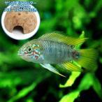 (熱帯魚)アピストグラマ・ボレリー オパール(1ペア)+ ココナッツシェルター(1個) 本州四国限定