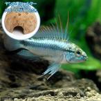 (熱帯魚)アピストグラマ・トリファスキアータ(1ペア)+ ココナッツシェルター(1個) 本州四国限定
