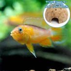 (熱帯魚)アピストグラマ・アガシジィ ファイアーレッド(1ペア)+ココナッツシェルター(1個)本州・四国限定