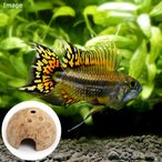 (熱帯魚)アピストグラマ・カカトイデス ダブルレッド(1ペア)+ココナッツシェルター(1個)本州・四国限定