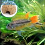(熱帯魚)アピストグラマ・カカトイデス オレンジテール(1ペア)+ ココナッツシェルター(1個) 本州・四国限定