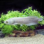 (熱帯魚)ヘテロティス 28〜30cm(1匹)