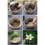 (ビオトープ/水辺植物)メダカのビオトープセット ガガブタ+楊貴妃メダカ+水辺植物3種 あぜなみ付 本州・四国限定 お一人様1点限り