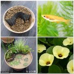 (ビオトープ/水辺植物)メダカのビオトープセット ウォーターポピー+楊貴妃メダカ+水辺植物3種 あぜなみ付 本州・四国限定