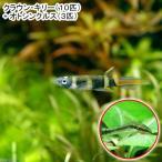 (熱帯魚)クラウン・キリー(10匹) + オトシンクルス(3匹) 北海道・九州航空便要保温