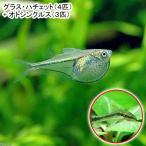 (熱帯魚)グラス・ハチェット(4匹) + オトシンクルス(3匹)