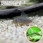 (熱帯魚)コリドラス・ステルバイ(3匹) + オトシンクルス(3匹) 北海道・九州・沖縄航空便要保温
