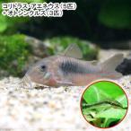 (熱帯魚)コリドラス・アエネウス(5匹) + オトシンクルス(3匹) 北海道・九州・沖縄航空便要保温