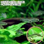 (熱帯魚)コリドラス・ピグミー(ワイルド)(10匹) + オトシンクルス(3匹) 北海道・九州・沖縄航空便要保温