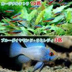 (熱帯魚)カージナルテトラ(ワイルド)(10匹) + ブルーダイヤモンド・ラミレジィ(3匹) 北海道・九州・沖縄航空便要保温