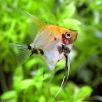 (熱帯魚)レッドデビル・エンゼルフィッシュ(ヨーロッパブリード)(3匹) 北海道・九州・沖縄航空便要保温