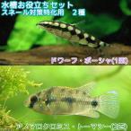 (熱帯魚)水槽お役立ちセット スネール対策特化用 2種(3匹)北海道・九州・沖縄航空便要保温