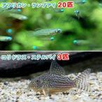 (熱帯魚)アフリカン・ランプアイ Sサイズ(20匹) + コリドラス・ステルバイ(3匹)北海道・九州航空便要保温