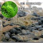 (エビ・貝)生餌 エサ用スジエビ(30g)+(水草)金魚藻 エサ用アナカリス(20本) 北海道航空便要保温