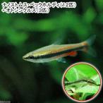 (熱帯魚)ナノストムス・ベックホルディ(12匹) + オトシンクルス(3匹) 北海道・九州・沖縄航空便要保温