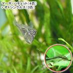 (熱帯魚)マーサ・ハチェット(4匹) + オトシンクルス(3匹)