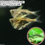(熱帯魚)マーブル・ハチェット(4匹) + オトシンクルス(3匹)