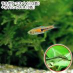 (熱帯魚)ラスボラ・エスペイ(12匹) + オトシンクルス(3匹) 北海道・九州・沖縄航空便要保温
