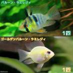 (熱帯魚)バルーン・ラミレジィ+ゴールデンバルーン・ラミレジィ(各種1匹) 北海道・九州・沖縄航空便要保温