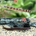 (熱帯魚)クーリーローチ(3匹) + ブラッククーリーローチ(3匹) 北海道・九州・沖縄航空便要保温