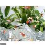 (熱帯魚)外国産ミックスグッピー(オス)(5匹) 北海道・九州・沖縄航空便要保温