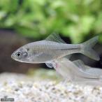 (淡水魚)シロヒレタビラ プラチナ(1匹)