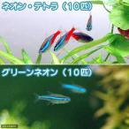 (熱帯魚)ネオンテトラ(10匹) + グリーンネオンテトラ(10匹) 北海道・九州・沖縄航空便要保温